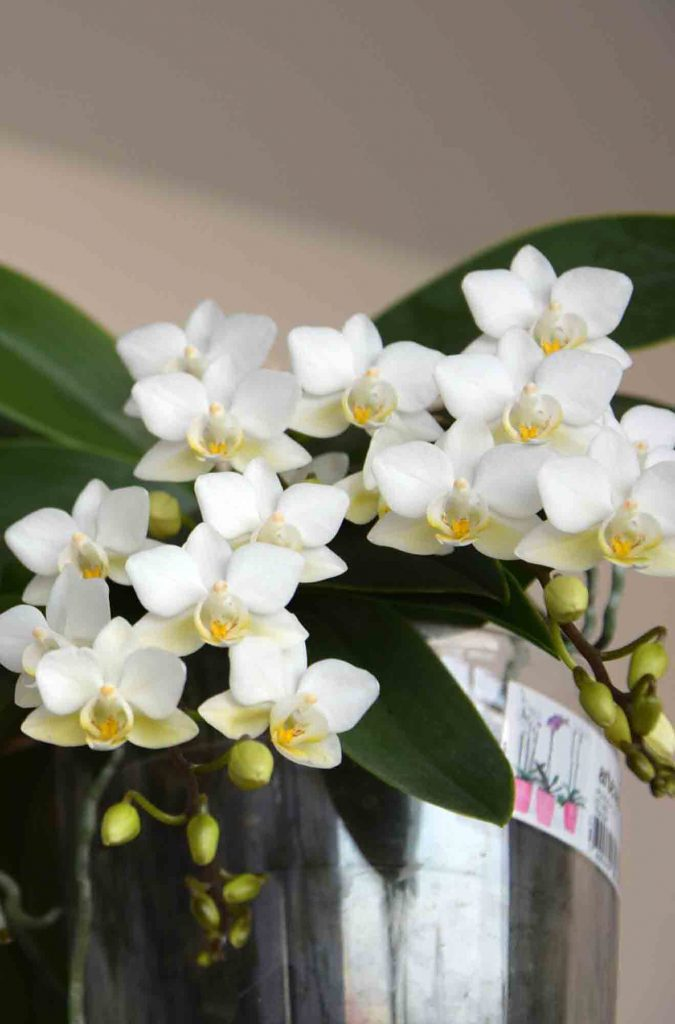 Phalaenopsis at the studio #phalaenopsis #botanical #plantsatwork